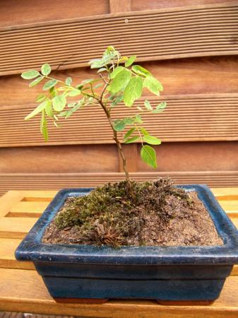 b umchen aus dem wald als bonsai weiterkultivieren pflanzen botanik green24 hilfe pflege. Black Bedroom Furniture Sets. Home Design Ideas