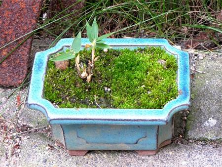 bonsai als freizeitbesch ftigung pflanzen botanik. Black Bedroom Furniture Sets. Home Design Ideas