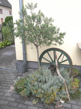 olivenbaum bei diesem wetter drau en lassen pflanzen. Black Bedroom Furniture Sets. Home Design Ideas