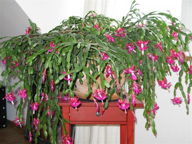 Garten Pflanzenmarkt Biete Pflanzen Schlumbergera