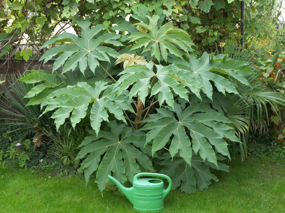 Pflanze Mit Großen Blättern zwischen papier lebensmittel und zierpflanze tetrapanax
