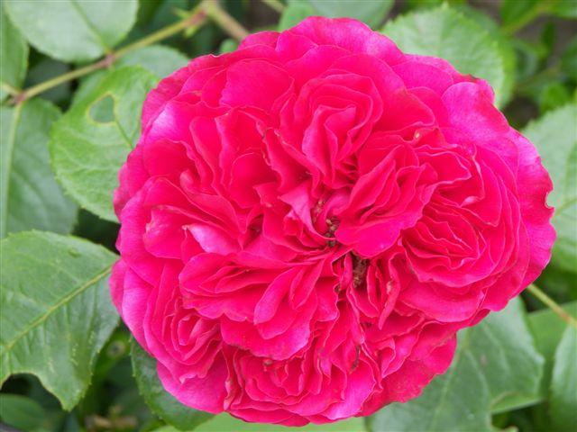 rosen rosa beliebte pflanzen erfahrungen green24. Black Bedroom Furniture Sets. Home Design Ideas