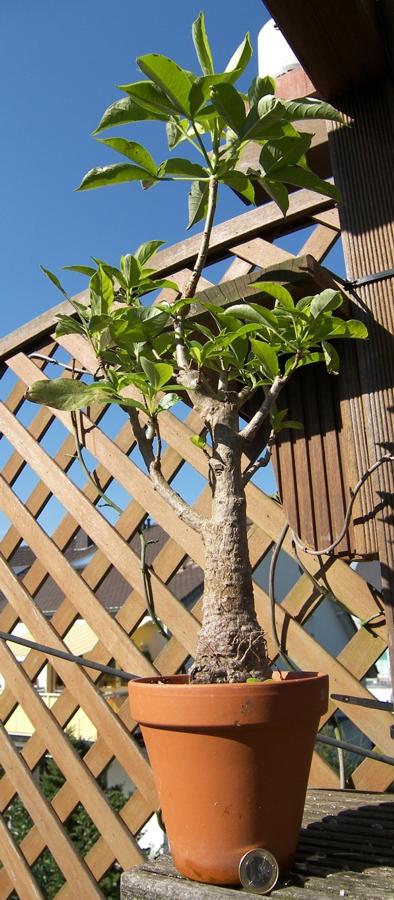 baobab pflege affenbrotbaum als zimmerpflanze anzucht und. Black Bedroom Furniture Sets. Home Design Ideas