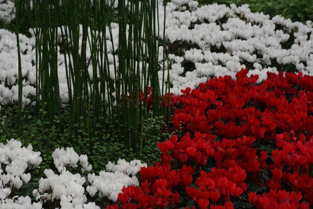 alpenveilchen cyclamen beliebte pflanzen erfahrungen green24 hilfe pflege bilder. Black Bedroom Furniture Sets. Home Design Ideas