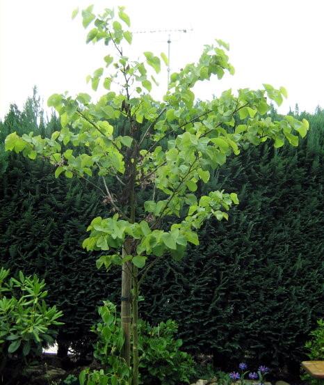 entscheidung maulbeerbaum oder judasbaum pflanzen botanik green24 hilfe pflege bilder. Black Bedroom Furniture Sets. Home Design Ideas