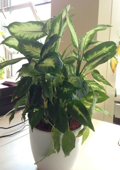 diverse fragen zur dieffenbachia pflanzen botanik green24 hilfe pflege bilder. Black Bedroom Furniture Sets. Home Design Ideas