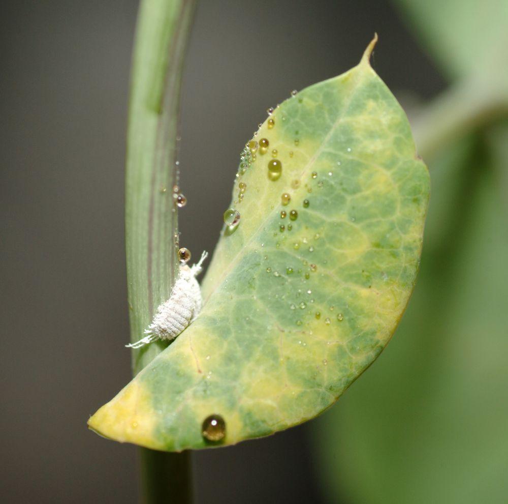 sch dlinge zimmerpflanzen bilder sch dlinge auf zimmerpflanzen insekten sch dlinge an. Black Bedroom Furniture Sets. Home Design Ideas