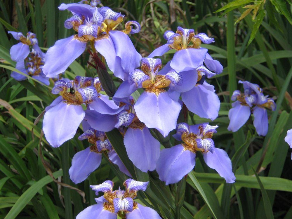 neomarica die s damerikanische iris pflanzen magazin pflanzen wundersch n green24 hilfe. Black Bedroom Furniture Sets. Home Design Ideas