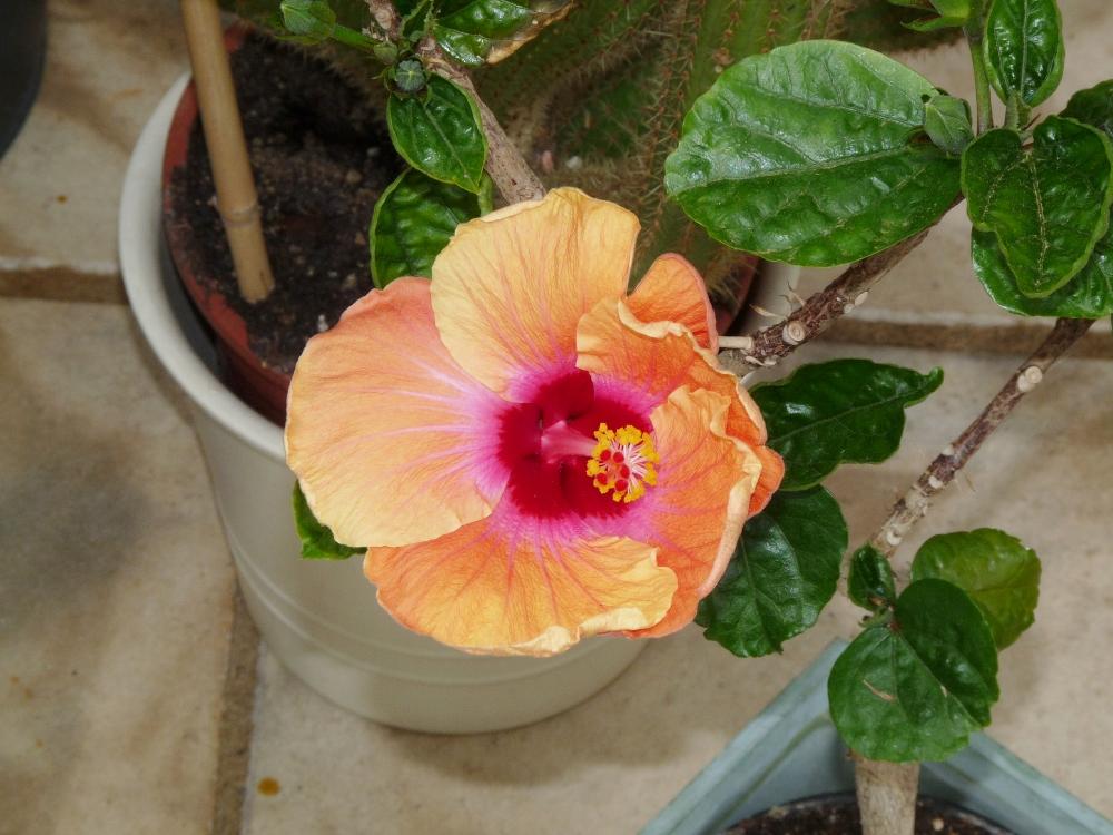 hibiskus hibiscus ii beliebte pflanzen erfahrungen green24 hilfe pflege bilder. Black Bedroom Furniture Sets. Home Design Ideas