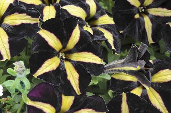 Schwarz-gelbe Blüten - Petunia Phantom - Sommer-blumen - Garten ... Sommer Blumen Pflanzen Pflege