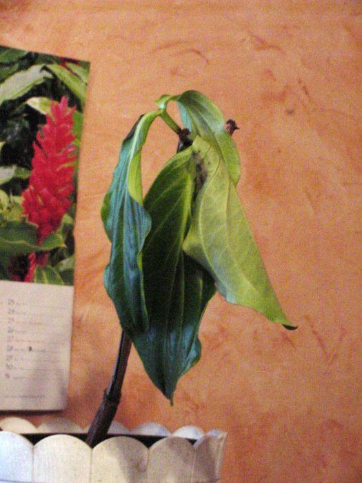 medinilla magnifica wirft bl tter ab pflanzenkrankheiten sch dlinge green24 hilfe pflege. Black Bedroom Furniture Sets. Home Design Ideas