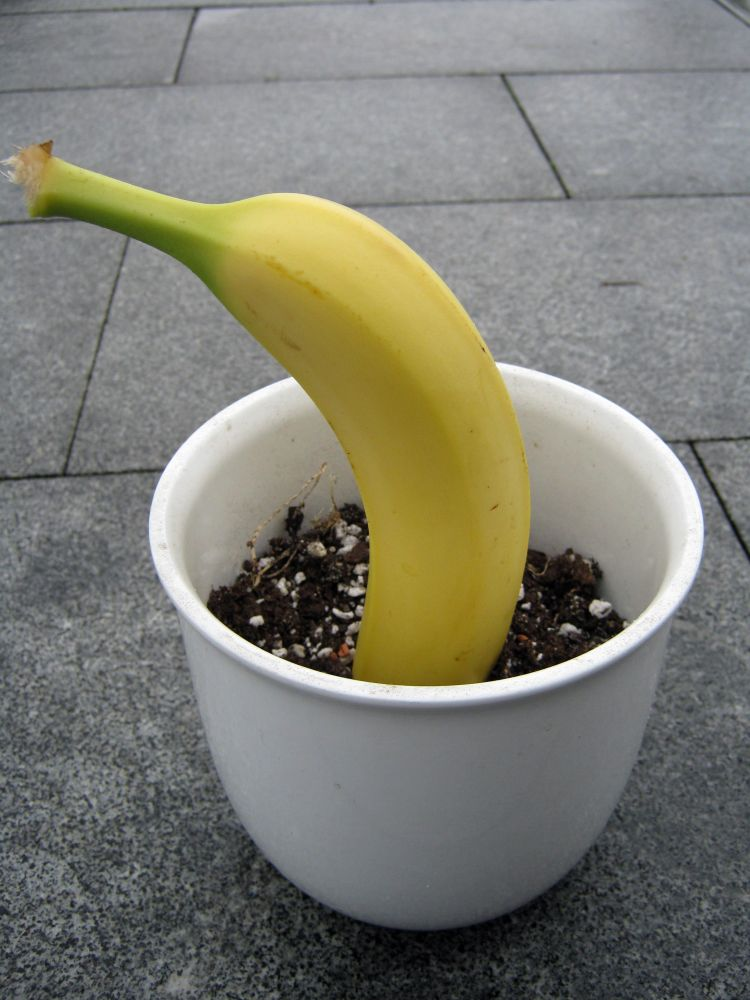 Top Banane züchten - Wie sehen die Samen aus? - Samen & Anzucht #VC_98