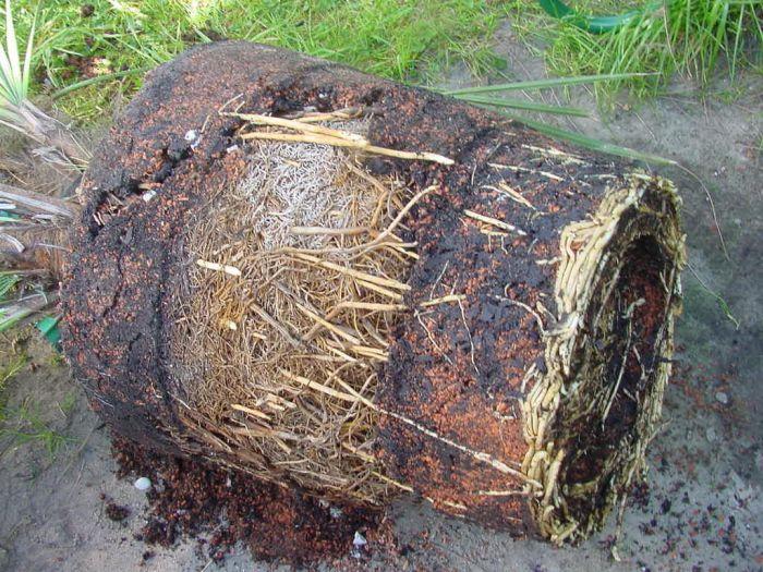 stirbt die palme pflanzenkrankheiten sch dlinge. Black Bedroom Furniture Sets. Home Design Ideas