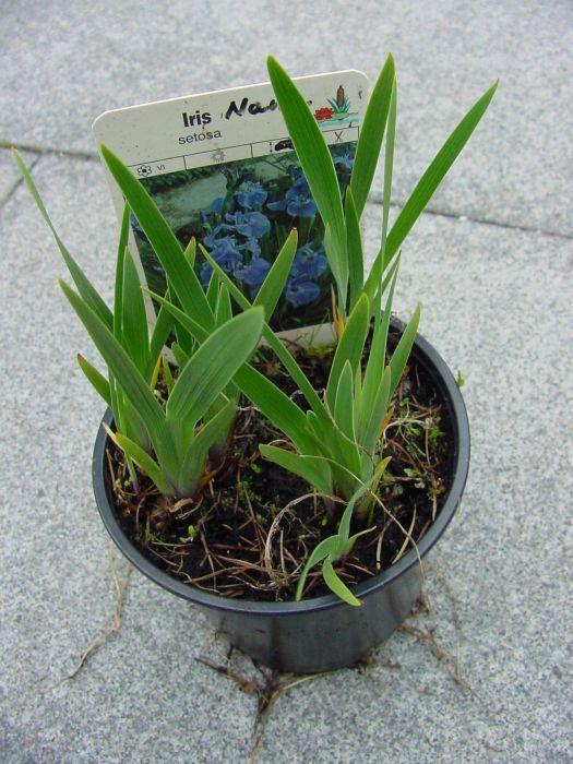 iris setosa nana pflanzen botanik green24 hilfe pflege bilder. Black Bedroom Furniture Sets. Home Design Ideas