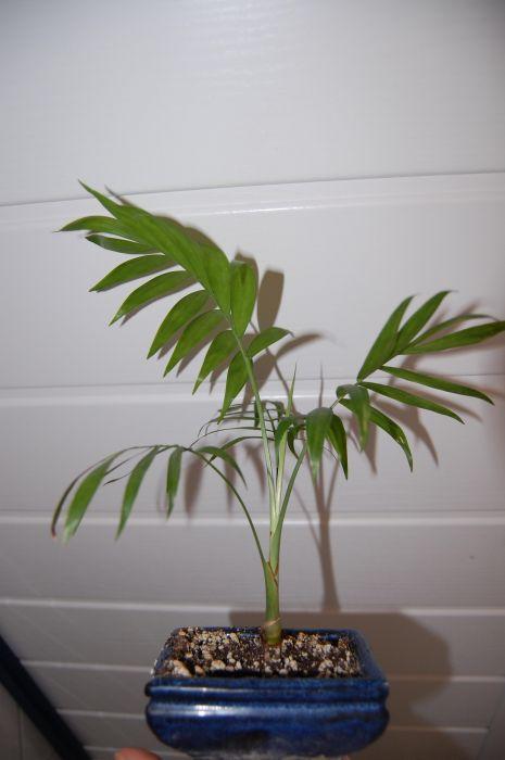 palmen alle gattungen iii beliebte pflanzen. Black Bedroom Furniture Sets. Home Design Ideas