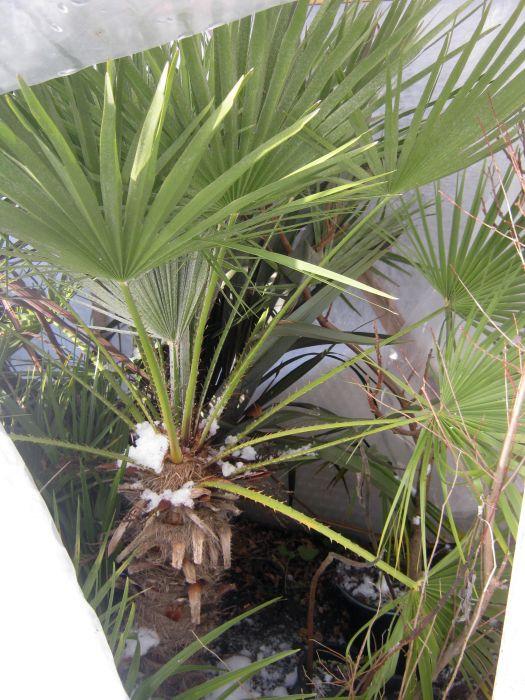 palmen alle gattungen iii beliebte pflanzen erfahrungen green24 hilfe pflege bilder. Black Bedroom Furniture Sets. Home Design Ideas