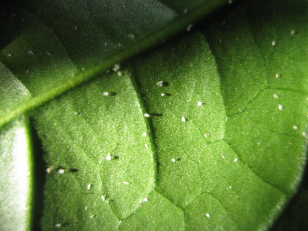 pavonia hat wei e punkte pflanzenkrankheiten sch dlinge green24 hilfe pflege bilder. Black Bedroom Furniture Sets. Home Design Ideas