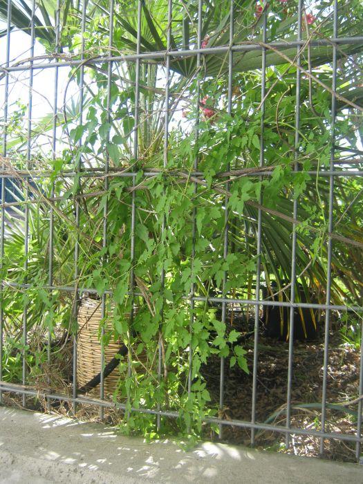 wohnzimmer palme pflege:Wohnzimmer palme pflege : Schönranke Eccremocarpus scaber Pflanzen