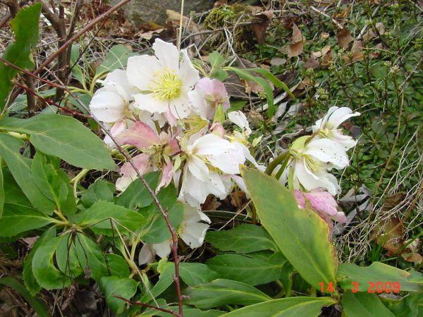 winterbl her pflanzen die im winter bl hen garten pflanzen news green24 hilfe pflege bilder. Black Bedroom Furniture Sets. Home Design Ideas
