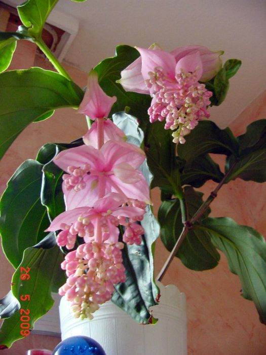 medinilla magnifica rosa welle garten pflanzen news. Black Bedroom Furniture Sets. Home Design Ideas