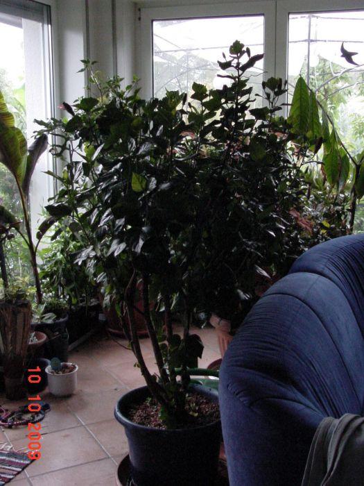 welche hibiskus arten sind die sch nsten 2009 treffpunkt stammtisch green24 hilfe pflege. Black Bedroom Furniture Sets. Home Design Ideas