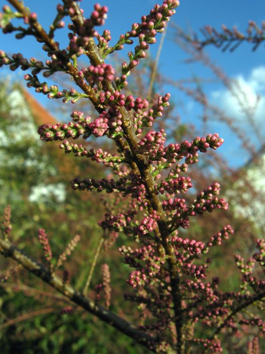 Wie Und Wann Tamariske Durch Stecklinge Vermehren Samen