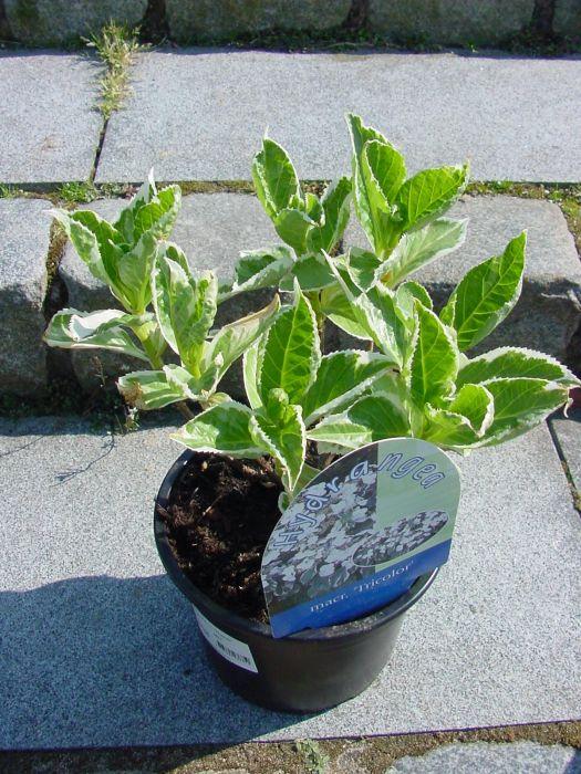 die hortensien hydrangea macrophylla garten pflanzen news green24 hilfe pflege bilder. Black Bedroom Furniture Sets. Home Design Ideas