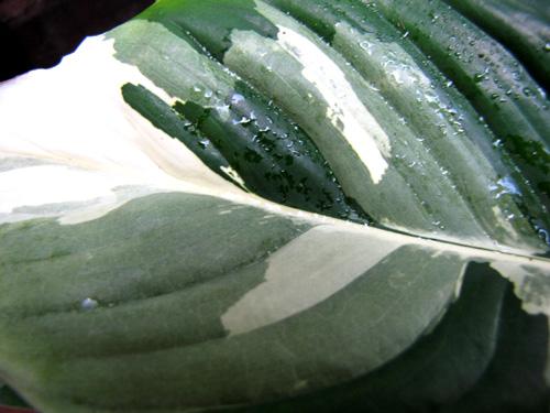 panaschiertes einblatt spathiphyllum picasso variegata treffpunkt stammtisch green24. Black Bedroom Furniture Sets. Home Design Ideas
