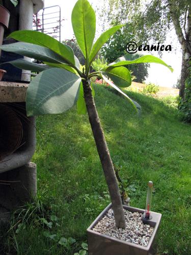 pon pon baum mediterrane pflanzen buchsbaum pompon buxus sempervirens arborescens pompon im. Black Bedroom Furniture Sets. Home Design Ideas