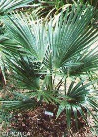trachycarpus nanus zwerg hanfpalme anleitungen saatgut. Black Bedroom Furniture Sets. Home Design Ideas