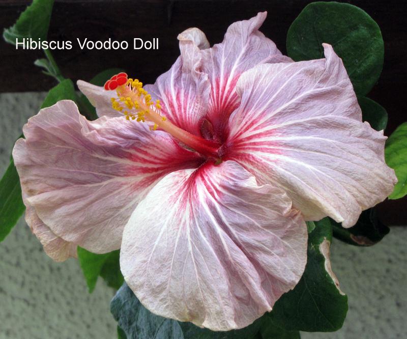 hibiskus hibiscus 2011 3 und 2012 1 beliebte pflanzen. Black Bedroom Furniture Sets. Home Design Ideas