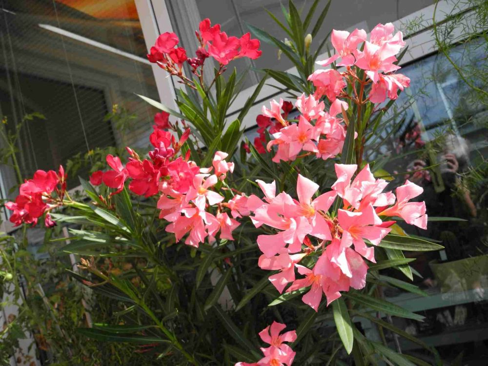 oleander nerium oleander beliebte pflanzen erfahrungen green24 hilfe pflege bilder. Black Bedroom Furniture Sets. Home Design Ideas