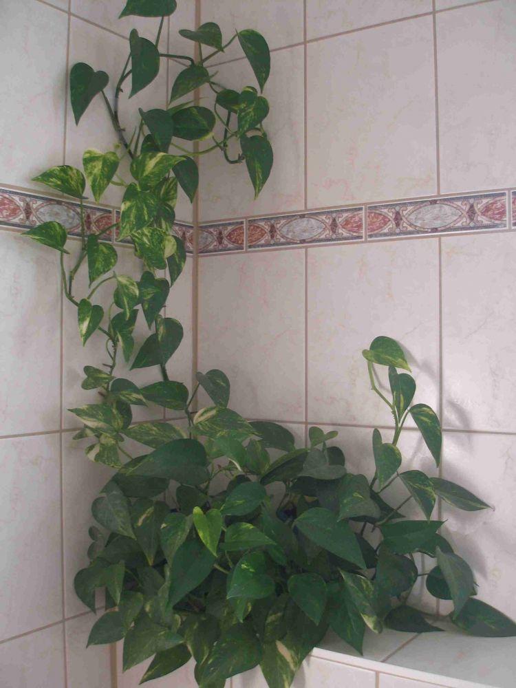 Efeutute   Epipremnum Pinnatum   Beliebte Pflanzen U0026 Erfahrungen   GREEN24  Hilfe Pflege Bilder