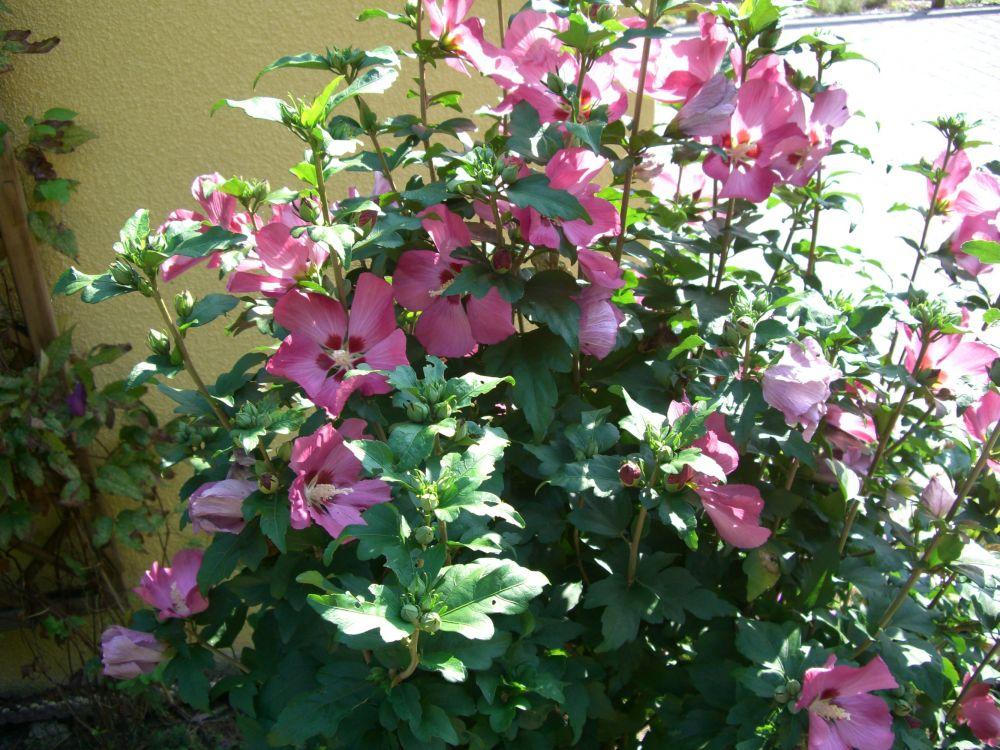 hibiskus winterhart kaufen hibiskus winterhart winterharter hibiskus 39 summerific. Black Bedroom Furniture Sets. Home Design Ideas