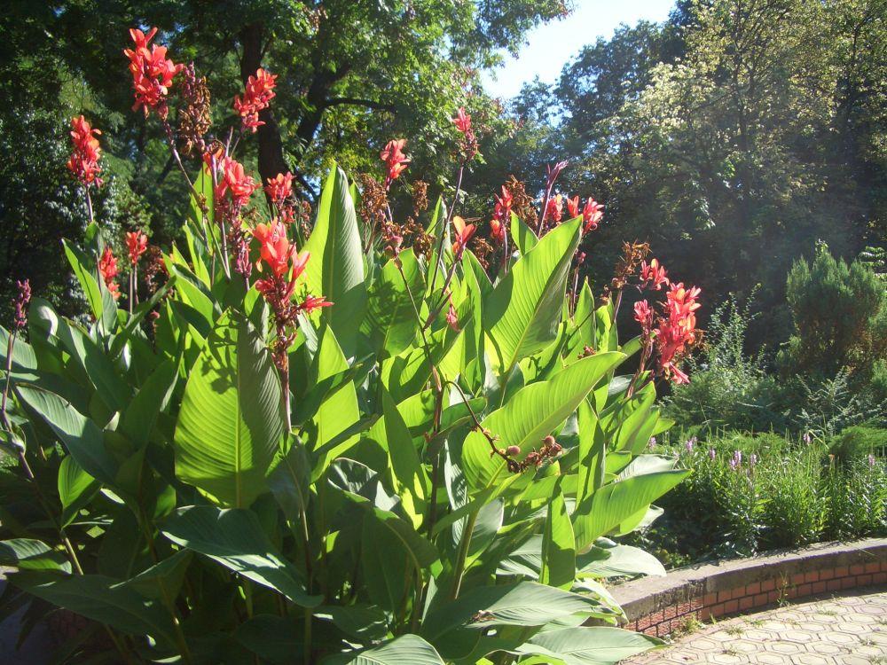 canna indica indisches blumenrohr pflanzen magazin pflanzen wundersch n green24 hilfe. Black Bedroom Furniture Sets. Home Design Ideas