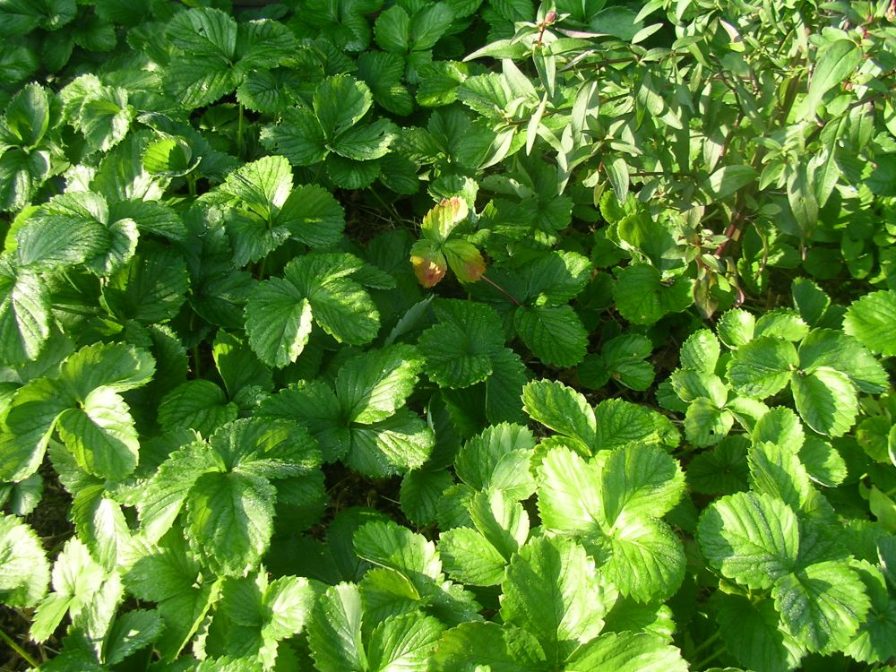 thema erdbeeren pflanzen botanik green24 hilfe pflege bilder. Black Bedroom Furniture Sets. Home Design Ideas