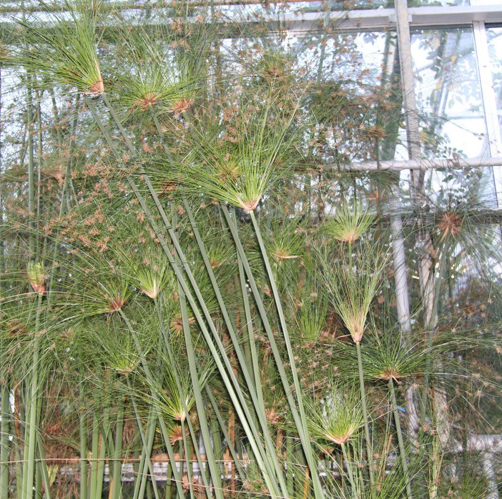 echter papyrus pflanzen magazin pflanzen wundersch n