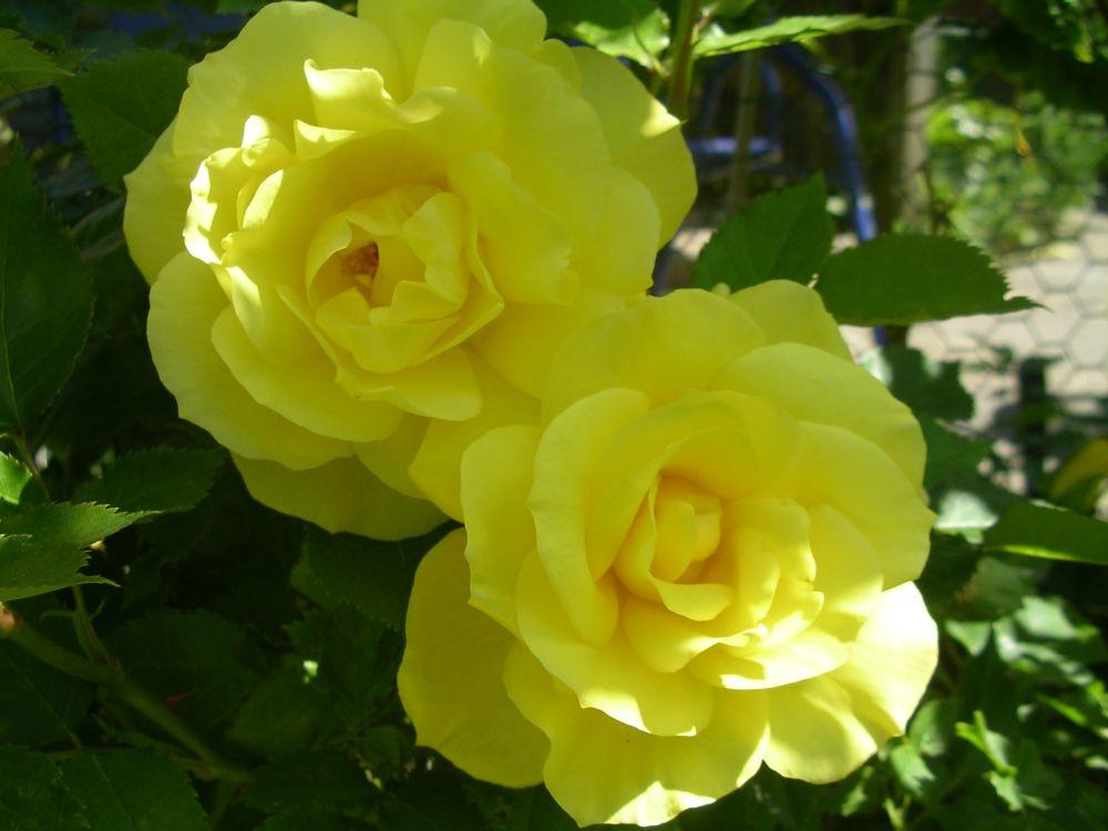 welche rose rose friesia pflanzenbestimmung pflanzensuche green24 hilfe pflege bilder. Black Bedroom Furniture Sets. Home Design Ideas