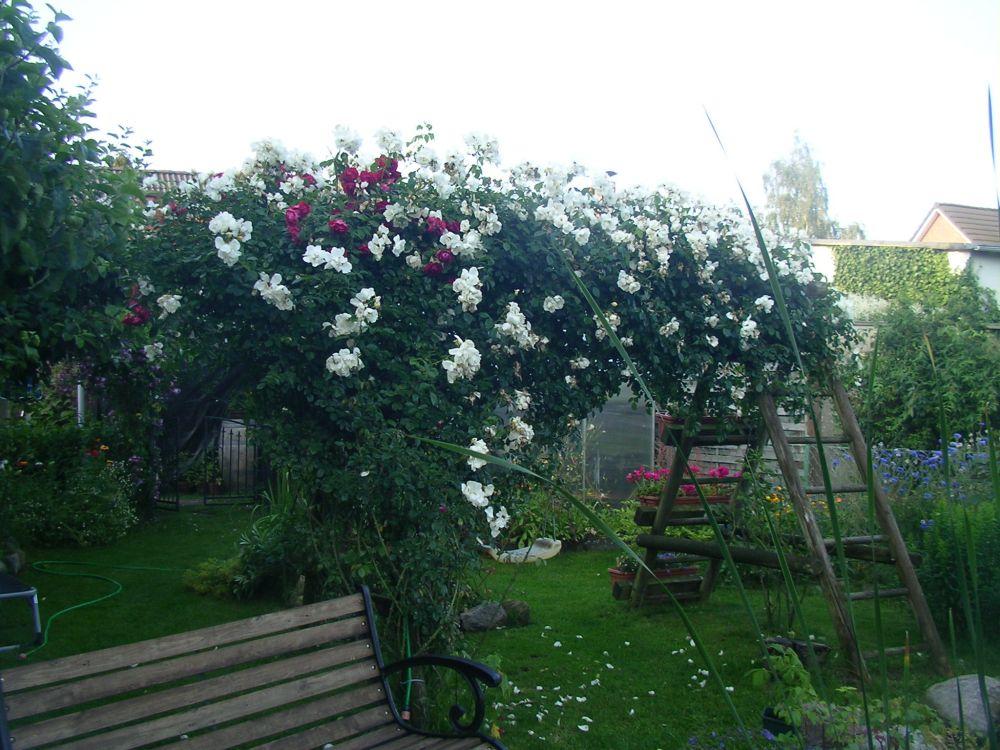 kann man rosen auch bei den jetzigen temperaturen pflanzen pflanzen botanik green24 hilfe. Black Bedroom Furniture Sets. Home Design Ideas