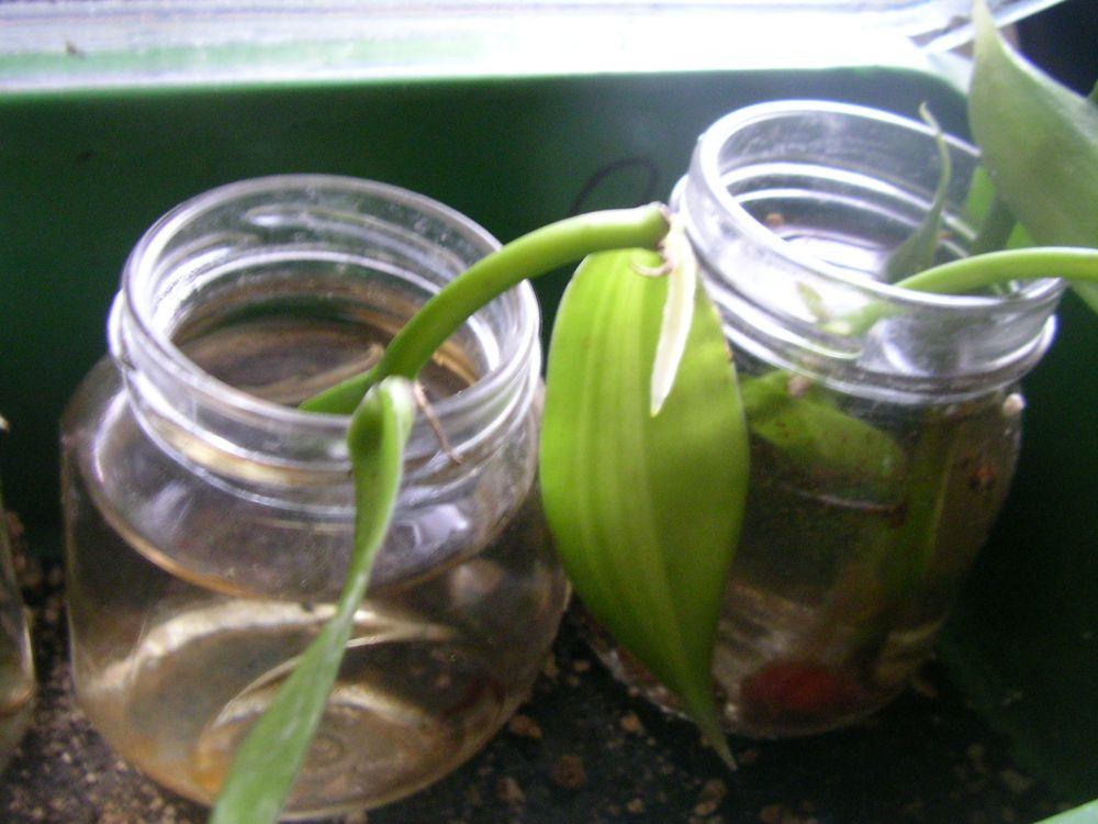 vanilla planifolia treffpunkt stammtisch green24 hilfe pflege bilder. Black Bedroom Furniture Sets. Home Design Ideas