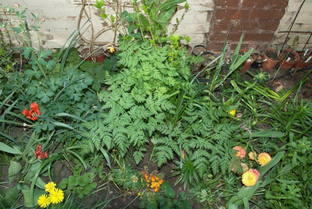 wilde m hre daucus carota pflanzenbestimmung pflanzensuche green24 hilfe pflege bilder. Black Bedroom Furniture Sets. Home Design Ideas