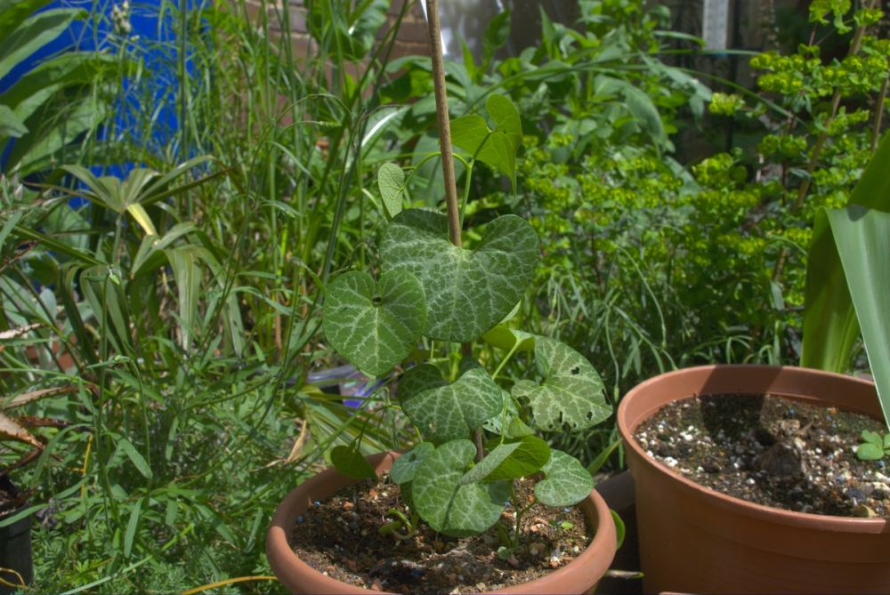 gespensterpflanze pfeifenwinde aristolochia beliebte pflanzen erfahrungen green24. Black Bedroom Furniture Sets. Home Design Ideas