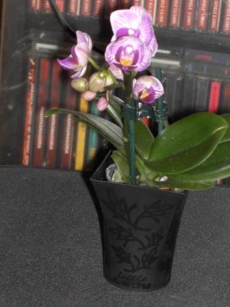 maedi2000 39 s blog meine orchideen 2011 willkommen in meinem blog. Black Bedroom Furniture Sets. Home Design Ideas
