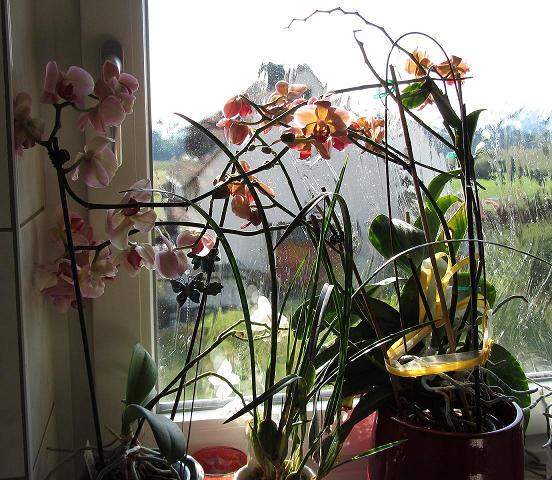 orchideen green24 hilfe pflege bilder. Black Bedroom Furniture Sets. Home Design Ideas