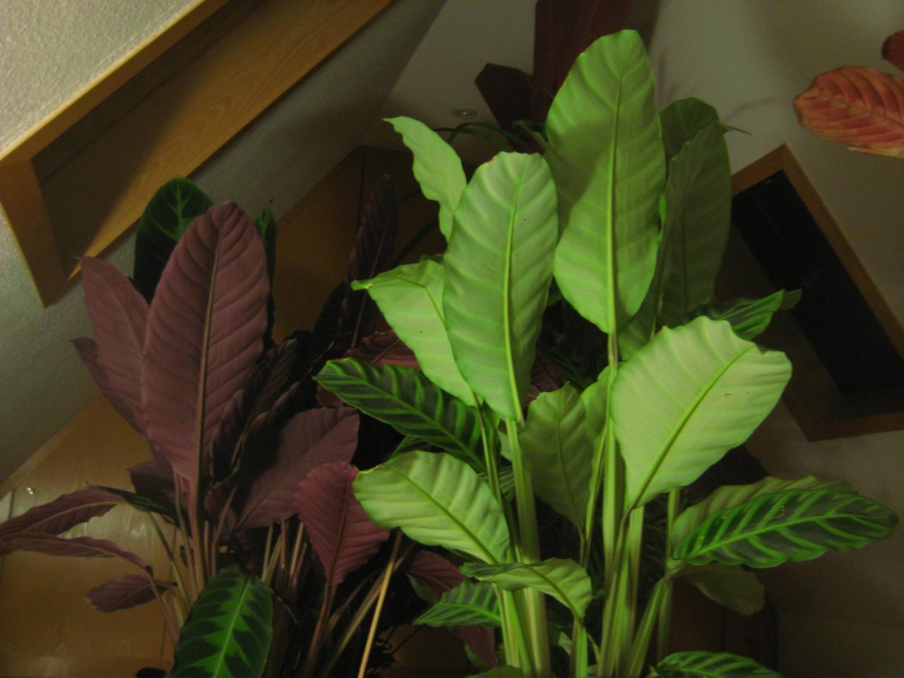schlafstellung korbmarante pflanzen botanik green24 hilfe pflege bilder. Black Bedroom Furniture Sets. Home Design Ideas