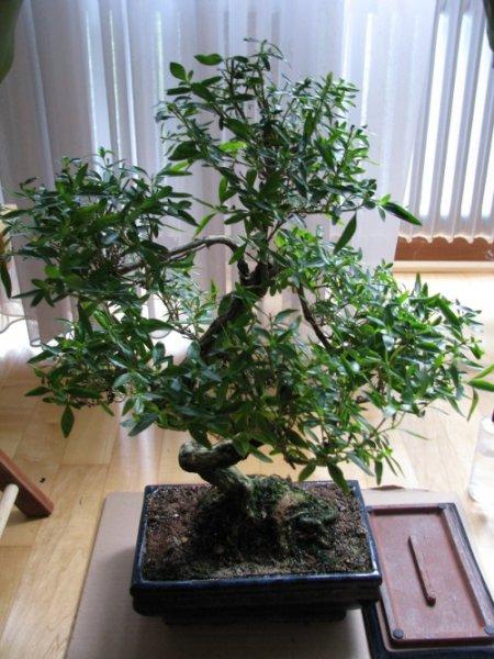 bonsai alle arten und sorten beliebte pflanzen. Black Bedroom Furniture Sets. Home Design Ideas