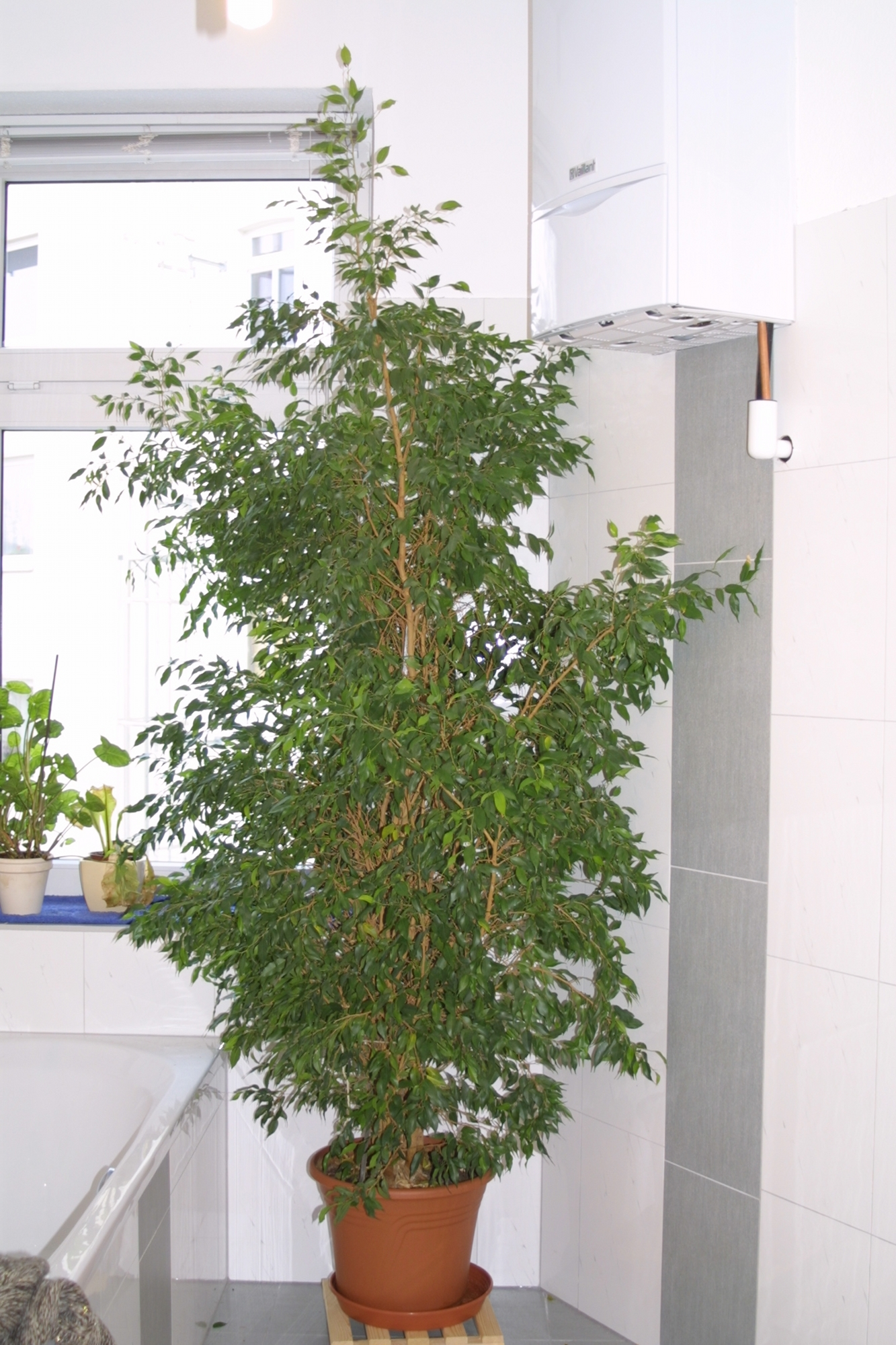 ficus benjamini birkenfeige pflanzen botanik green24 hilfe pflege bilder. Black Bedroom Furniture Sets. Home Design Ideas