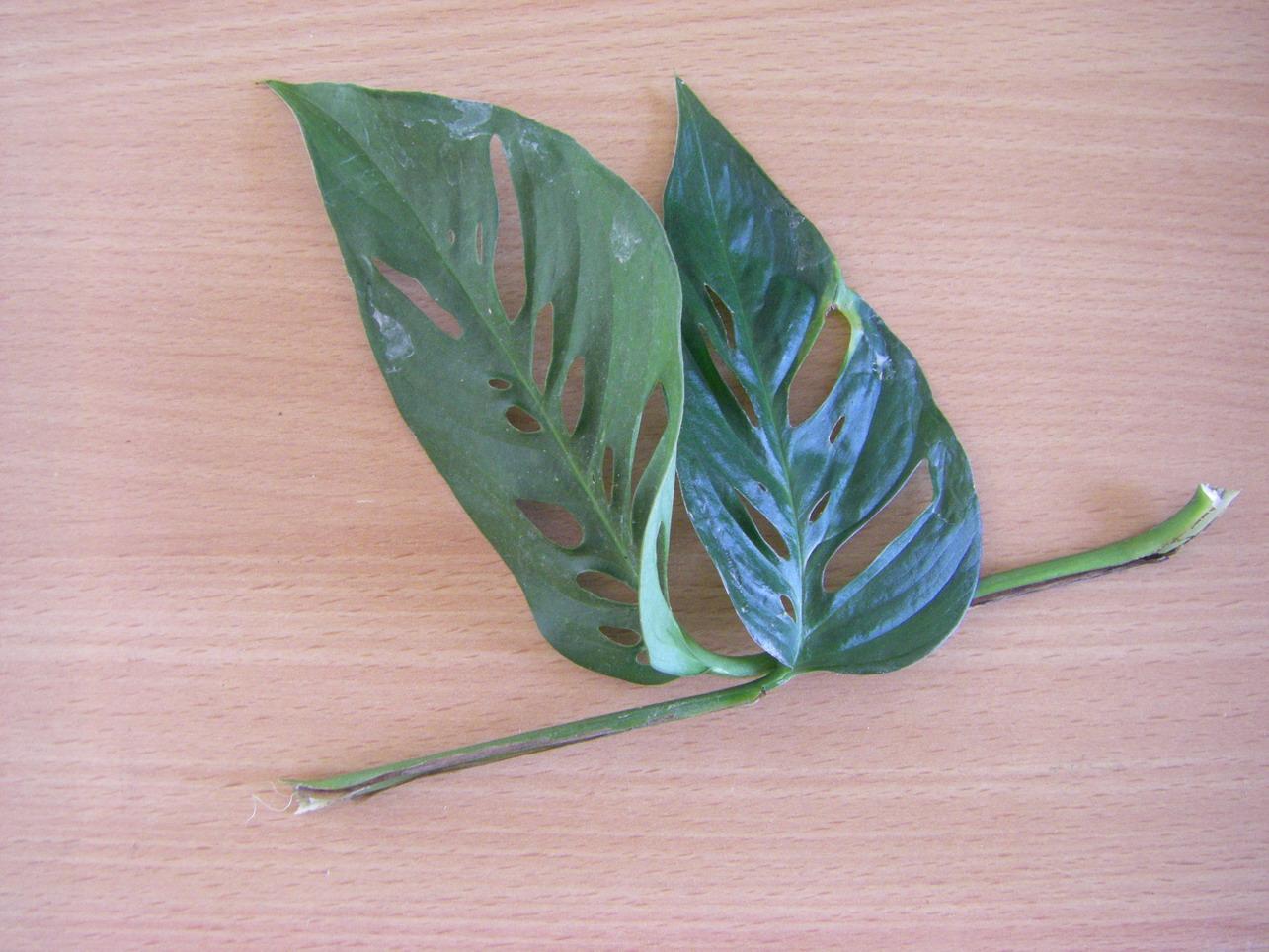 roberts pflanzenblog monstera acuminata sei du auch mal gast. Black Bedroom Furniture Sets. Home Design Ideas